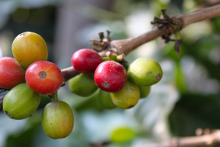 Chlorogenic Acid in Coffee Beans