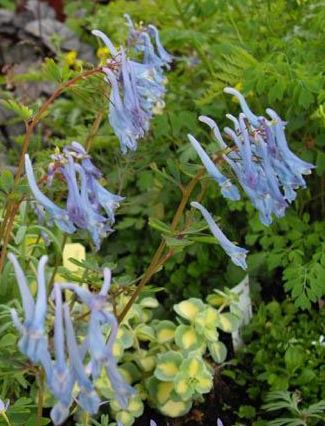 Corydalis Plant for natural pain relief
