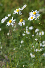 Herb Chamomile - natural pain reliever