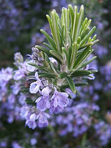 Herb Rosemary - natural pain reliever