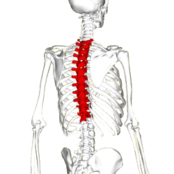Thoracic Spine and middle back pain